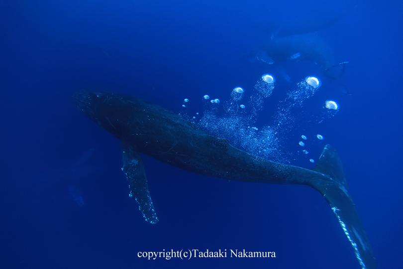 忠明さん クジラ威嚇